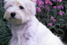 Westies / by Stephanie L. Dailey