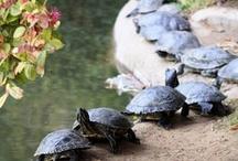 Tortoises & Turtles / Things for my pet tortoise and turtle...and things because I just love tortoises and turtles in general. <3 / by Sarah