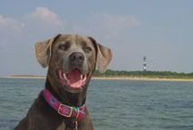 GRAY SEA / Gray Sea was our Labra/Dane,  a rescue dog from the Animal Protection Service of Durham, NC.  I was lucky enough to be there when she needed a home.  It as love at first site and we had almost 7 years together before she went to puppy heaven.  RIP Gray Sea, mommie loves you. / by Jan Moore