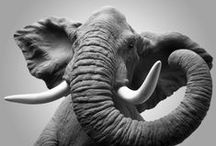 Elephants ♥♡♥ / Wisdom,Good luck, Majestic, Loyalty, Power, Strength, Honor, Intelligence, Patience, Fortune, Protection, Determination and Longevity / by Sabrina Ramos