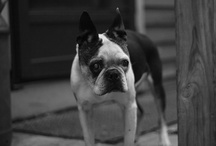 Bostons & all other cuteness / Primarily anything Boston Terrier because they rule but lots of other cuties / by Debbi