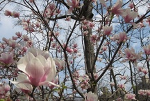 Flowers in Central Park / The most beautiful blooms in Central Park.  / by Central Park Conservancy