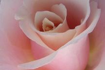 rose / by Chisato Miyajima
