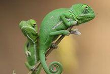 Chameleons!! / by ~allthingsshabby~