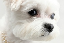 I ♥ My Maltese !! / Dog's / by Marcus Pecchenino Jr