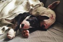 Ares & Margoth / We were born in Catalunya & came from the great House Gran Misae Bull Terrier. Living in The Basque Country... / by Elizabeth Ch B