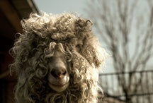 Alpaca, Sheep, Goats, Llamas / by Kim Seio