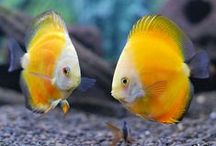 Aqua pets / Largest collection of Aquarium information on the Net. The information on Aquarium fishes like Gold fish, Koi carp,  Bettas, Discus, Arowana, Oscar, Cichlids, Flower horn, Barbs, Angels, Guppies, Mollys, Swordtails and many more are included on Aqua Pets along with tons of Aquarium Fish keeping and Fish breeding tips. / by Ramabhadran Sreedharan
