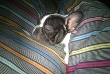 In love with a frenchie... / ...her name is Oprah :-) / by Dorina Magyar