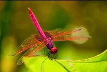 Dragonflies / by Dawn Wilson