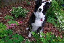 Just adore the Border Collie / After adopting my first Border Collie 15 years ago, I fell in love with the BC.  Their devotion, energy, and smartness I admire greatly.  Since losing my first BC and a collie mix girl due to old age, we have rescued another BC girl and BC mixed male.  There is never a dull moment around our house with these two! / by Melanie Hansen-Belleman