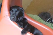 Labrador Love / Well - what's not to love about a Lab! / by Vanessa Cook