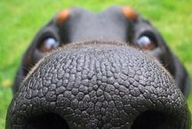 Dog Noses / For the love of dogs and their wonderful noses.   / by Rocky Harrell