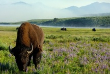 West Yellowstone, Montana / Travel Photos to Inspire Your West Yellowstone, Montana Vacation Planning! / by AllTrips - Vacation Packages & Travel