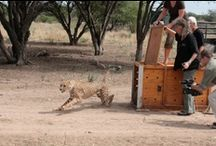 Heldenrace, 30 september, Den Haag / We hebben als stichting SPOTS een team opgezet die deelneemt aan de Heldenrace in Den Haag, 30 september 2012. Waarom? De mooiste cheetah is een in het wild levende cheetah. Vandaar dat ons doel is het terugbrengen van een cheetah in vrijheid. Sponsor onze deelnemers alsjeblieft, zodat we genoeg geld hebben voor een vrije cheetah! / by stichting SPOTS