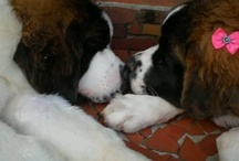 Molly!!!! / Molly is my beloved Saint Bernard.  Saint Bernards are the most loyal, loving creatures on this earth.  True gentle giants. / by Theresa Shroyer Rickels