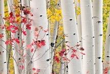 Birch / by Dee