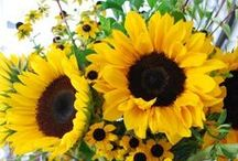 Amazing Sunflowers / Nothing brightens your day more than a sunflower. DO NOT PIN MORE THAN 10 PINS PER DAY OFF OF THIS BOARD. Thank you for visiting, and you may LIKE as many as you want. / by Jr 88 Rules!