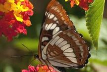 Amazing Butterflies & Moths / Gorgeous insects that help pollinate our flowers, fruits, and vegetables. DO NOT PIN MORE THAN 10 PINS PER DAY OFF OF THIS BOARD. Thank you for visiting, and you may LIKE as many as you want. / by Jr 88 Rules!