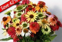 Coneflowers / by Great Garden Plants