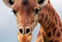 Giraffes / by Mariangeles Mandagaran