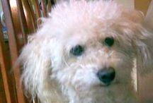 Puppies / Pequeños grandes amigos, fieles, puros e incondicionales. Este tablero es un homenaje a mi Caniche Toy Pierre Ale, a su memoria. / by Mariangeles Mandagaran