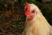 A Fowl Beauty / by Alanna Rusnak {SelfBinding Retrospect}