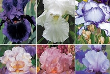 Flowers - Iris / I love the Iris. There are soooo many colors ! I bought some just a couple years ago at a yard sale and they are the most beautiful colors ! And...my neighbor gave me some black ones...just devine !! / by Mary Cox