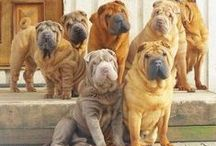 #Sharpei / by ForDogTrainers.com