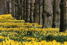 Daffodils / by Anita Crisp