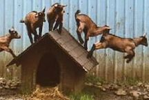 Goat Care/Obstacle/Agility / by Jenny | Sheepy Hollow