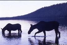 Moose time / by Elizabeth Berninger