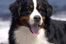 Bernese Mountain Dogs / by Ruth Cunningham