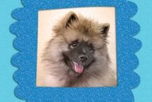 "My Keeshond Bodhi Bear / Bodhi Bear is an adorable Keeshond pup who is filled with love and life. He is an important member of the Animal Muse family and my ""animal muse."" / by Animal Muse: Cathy Currea"