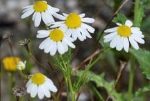 Plante: medicinale, aromatice, salbatice comestibile / by Cristinne Cosmetics