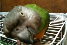 Parrots! Parrots! Parrots! / Parrot toys, foods, advice, photos...everything for the birds! / by Sandra Villeneuve