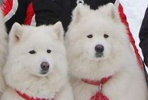 Sammys / board dedicated to Samoyeds~, we adopted our two sammys from The North Texas Samoyed Rescue~such a fantastic organization, without them many samoyeds would never find their furever home~<3 / by Terrie