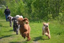Ooodles of Poodles!- Best Breed Ever!!! (and other misc. cute dog stuff!) / Poodles! Especially Standard Poodles! Best breed for Personality, Fun and Intelligence! Hypoallergenic too!  / by Susan Richey