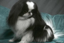 Japanese Chin...and other pooches / by Lanie Wright