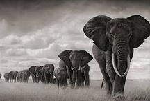 Elephants / by Amy Smith