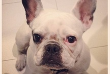 Frenchies ~ My love, my obsession! / I love my French Bulldog! Every photo I see makes me want another! #frenchbulldog / by Charlotte Barr Trobman