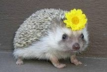 Hedgehogs / by Brooke McGrath