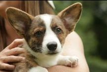 """Cardigan Corgi Love / """"Be thou comforted, little dog, Thou too in Resurrection shall have a little golden tail."""" - Martin Luther / by Kat Rutherford"""