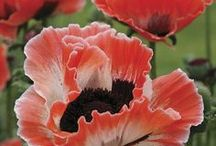 PoPPiEs / by Vintage Mama