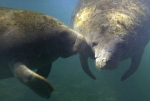 Manatees in the Wild / by South Florida Museum