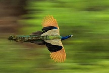 Proud as a... / Peacocks! / by Graphic Allusions