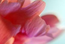 Peony pinks...... / by Linda Bailey Zimmerman