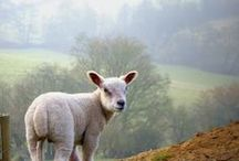 Sheep, Donkeys and Goats / by Anne Spooner