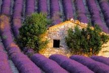 Lavender / by Brooke Giannetti