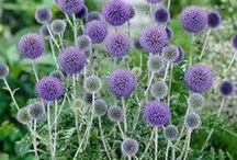 Garden: Plants / varieties, cultivars, species / by Julie Kellams Hobor